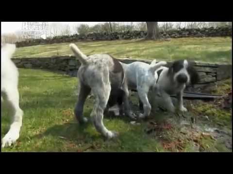 Дратхаар - немецкая жесткошёрстная легавая