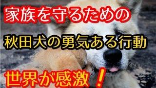 【海外の反応】日本由来の秋田犬、家族を守ろうと熊に立ち向かう姿に海...