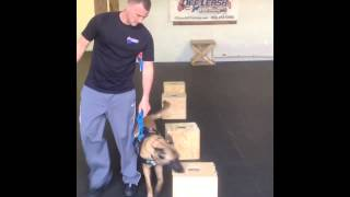Ziva Doing Detection On Boxes And Suitcases! Detection And Nose Work Northern Virginia