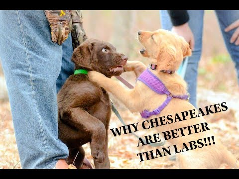 Why Chesapeakes Are Better Than Labs!