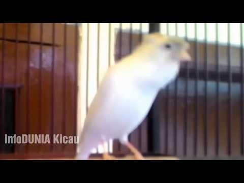 Download Lagu Kenari Putih Gacor Ngeroll Panjang | White Canari