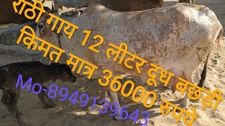 राठी गाय दूध 12 लीटर बछड़ी किमत मात्र 36000