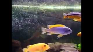 Ryby - Pyszczaki z Malawi #1