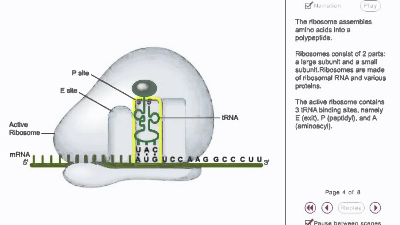 protein sysnthesis animation Molecular genetics dna replication dna replication protein synthesis a more detailed animation with narration translation animations protein synthesis.