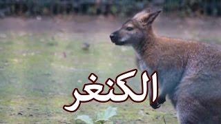 الحيوانات - الكنغر