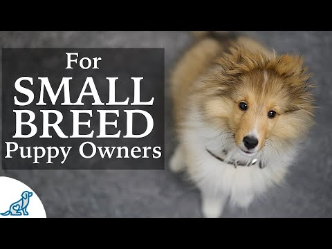 Sheltie Puppy Training -  Should Small Breed Owners Train Differently?