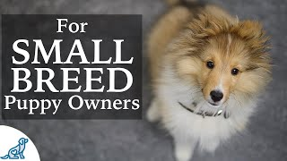 Sheltie Puppy Training   Should Small Breed Owners Train Differently?
