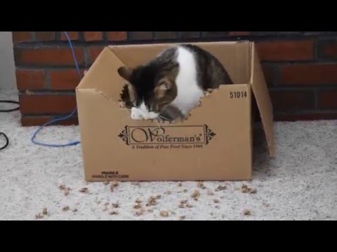 Thumbnail for Cat Video Kino's box-destroying hobby