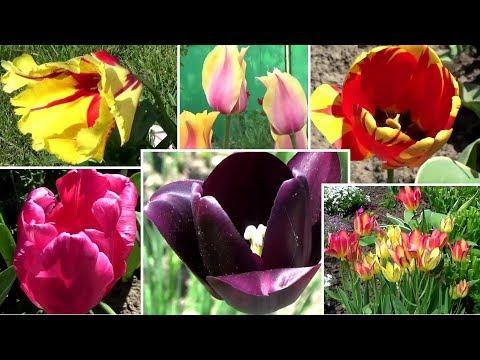 Вопрос: Какие сорта тюльпанов с пестрыми листьями?