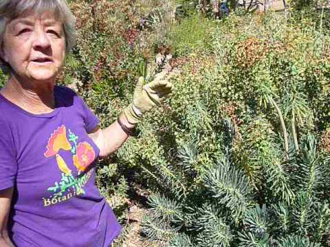 Euphorbia, pruning tips