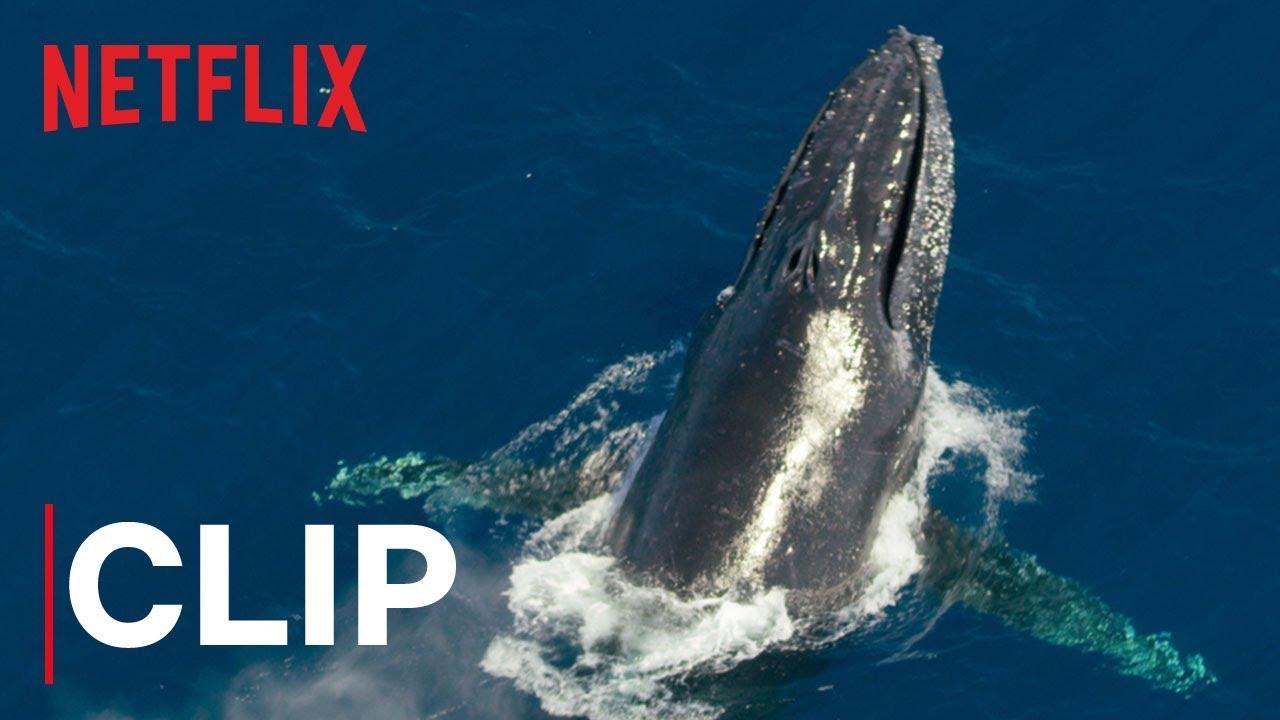 Our Planet   Humpback Whales   Clip   Netflix