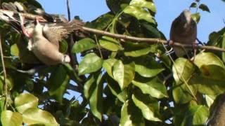 นกเขาใหญ่ต่อครุน15(ต่อกิ่ง)