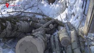 видео Вырубка аварийных деревьев