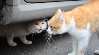 Дуэт поющих котов.wmv