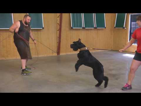 Yeager 14 Months Old Prey Drive Exercise