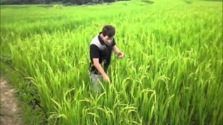 Rice Farmer in Field in Laos works SO FRIGGIN HARD