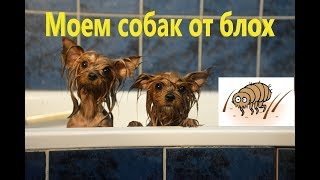 Как мыть собаку шампунем от блох. Йорки Мишель и Моника. Блохи на собаке.