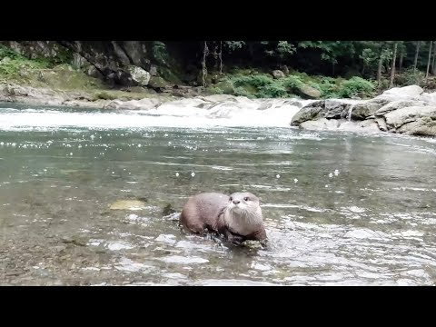A Day In The Life Of An Otter Accustomed To Spending Weekends On The River [Otter Life Day 296]