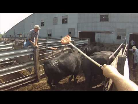 Sorting cattle at Hub City Livestock with Steve Hellwig