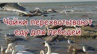 Чайки перехватывают еду у лебедей в Актау(Достопримечательности и места отдыха в Мангистау http://aktau-info.com/mangistau/dostoprimechatelnosti-i-mesta-otdyxa-v-mangistau., 2015-02-18T15:35:21.000Z)