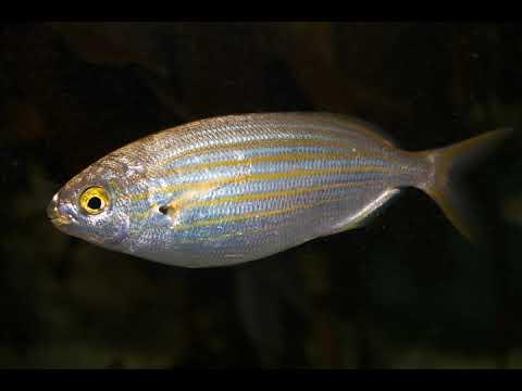 Hallucinogenic Fish | Wikipedia Audio Article