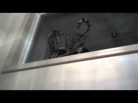 Savannah cat guarding house from her 12 ft perch!!