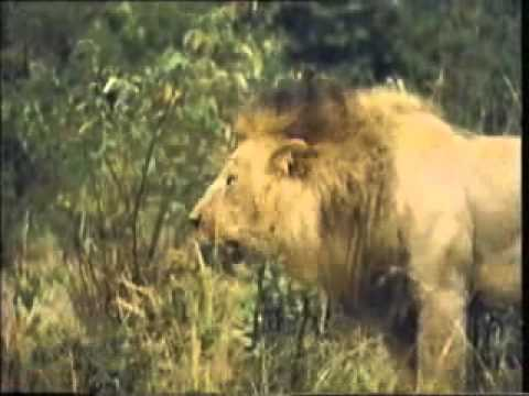 BIG LION FIGHT www keepvid com - YouTube