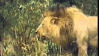 BIG LION FIGHT www keepvid com