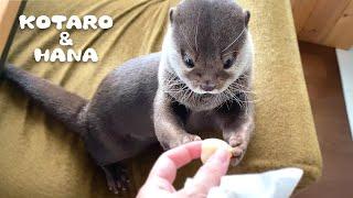 カワウソコタローとハナ ホカホカの肉まんみたいにホタテを食べる Otter Kotaro&Hana Eating Scallops Like Eating Hot Pancakes