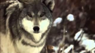 Александр Добронравов - Одинокая волчица