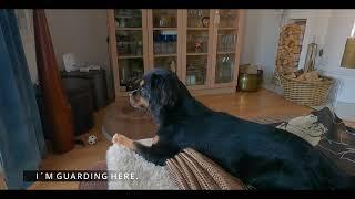 75% Cavalier King and 25% Tibet Spaniel  best dog for family