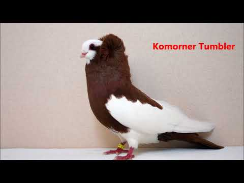 Different Types of  Fancy Pigeon Breeds
