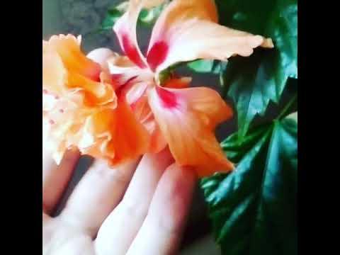 Обзор цветения гибискуса