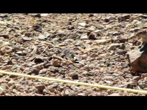 Squirrel on Grand Canyon Floor - HD