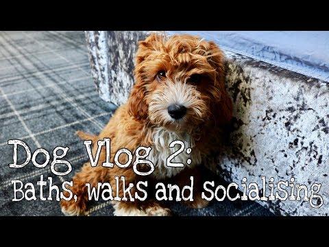 CAVAPOO PUPPY   DOG VLOG 2 - Walks, Socialising and Bath time🐾
