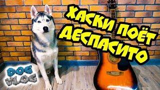 DOGVLOG: ОЙ СПАСИТО ПОМОГИТО! (Хаски Бандит) Говорящая собака