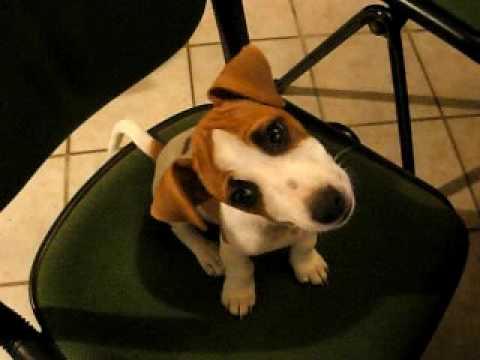 Cucciolo tony jack russel guarda un video e piega la testa youtube - Jack russel queue coupee ...