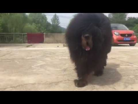 tibetan mastiff siren for sale