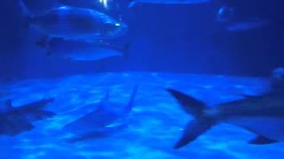 sharks audubon aquarium of the americas new orleans la