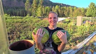 Про выращивание арбузов в сибири