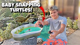 surpising-paul-with-new-baby-snapping-turtles