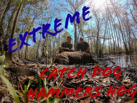 *EXTREME Hog Hunting* Catch Dog Hammers Huge Hog