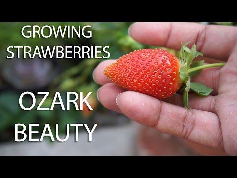 Strawberry Profile - Growing Ozark Beauty Strawberries - in 4K