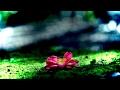 冬花 寒椿 Camellia hiemalis - Kantsubaki - 癒しの風景 音のスケッチ21/Ryuju