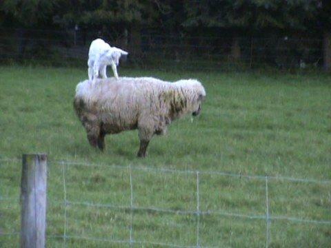 Goat climbing on Ram - YouTube  Goat climbing o...