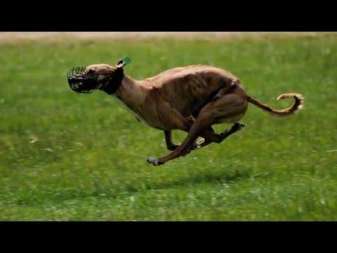 beautiful photos Greyhound breed dog