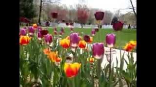 100 Tulips in my garden(2)@MA