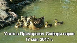 Утята в Приморском Сафари-парке 17 мая 2017 г.
