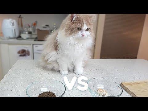 고양이를 위한 새우튀김덮밥 (사료와의 대결)