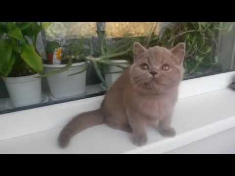 Altangera.ru продажа британских котят в Ростове купить котенка
